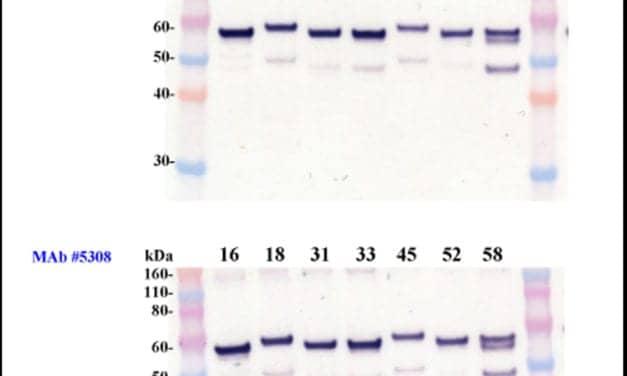 HPV Monoclonal Antibodies Function in ELISA