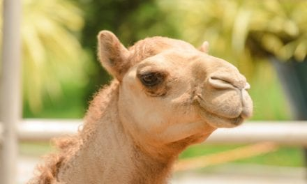 Camel Immunization Could Provide New Hope for Allergy Sufferers