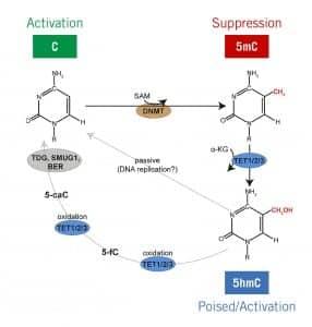 Figure 1. The cytosine methylation/demethylation pathway. 5-hydroxymethylcytosine (5hmC) identifies a dynamic state between activation (C) and suppression (5mC).